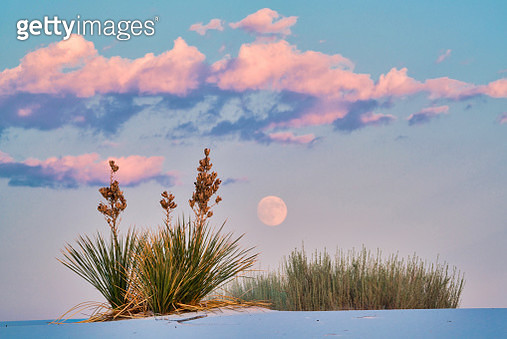 Rising Full Moon Over Yuccas - gettyimageskorea