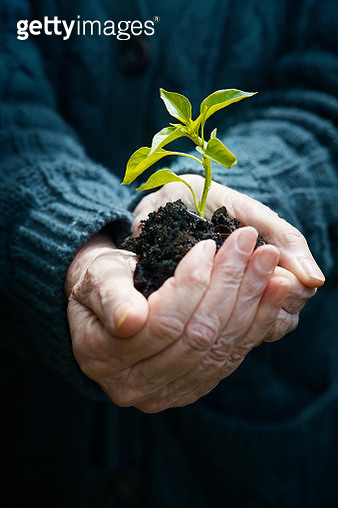 Contrasts: Old person's hands carefully holding a young seedling - gettyimageskorea