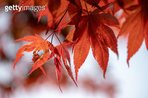 Close-Up Of Maple Leaves On Branch - gettyimageskorea