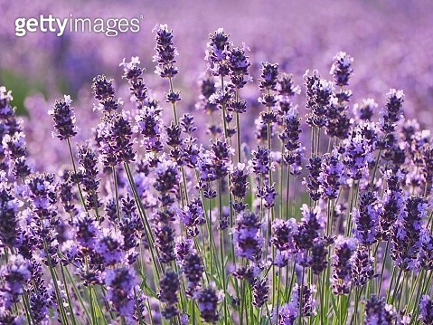 Close-Up Of Lavender Flowers - gettyimageskorea