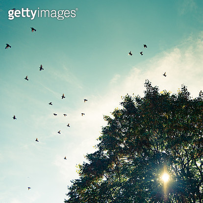 Flock of Starlings leaving a Linden Tree, Autumn in Alsace, Eastern France - gettyimageskorea
