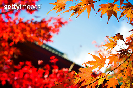 Low Angle View Of Maple Leaves Against Sky - gettyimageskorea