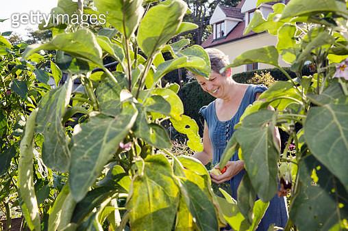Mature woman gardening, picking fruit - gettyimageskorea