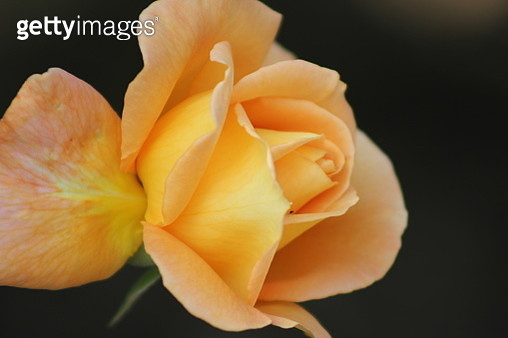Single rose on the black background. Captured by macro lens with flash. - gettyimageskorea