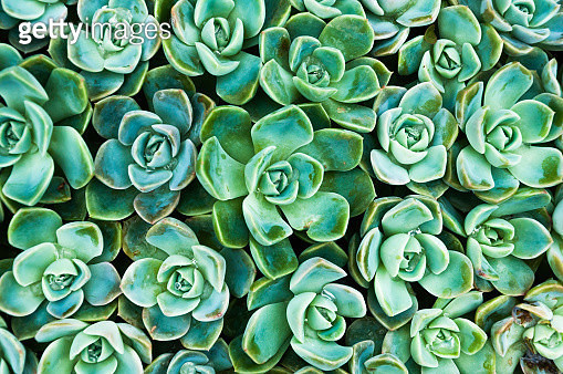Top view of several succulent plants - gettyimageskorea