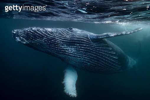 Humpback Whale calf playing on surface of ocean, Port St. Johns, South Africa - gettyimageskorea