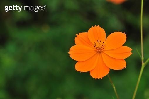 코스모스, 노랑코스모스, 실외, 개화, 노랑코스모스, 꽃, 식물, 클로즈업, 한송이, 주황색 - gettyimageskorea