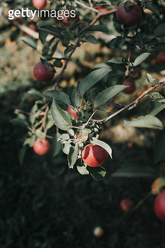 Apple tree - gettyimageskorea