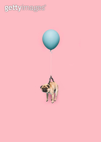 Studio photograph of small, cute Pug dog floating with a blue balloons, on pink background. - gettyimageskorea