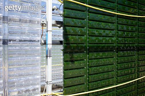 microalgae - gettyimageskorea