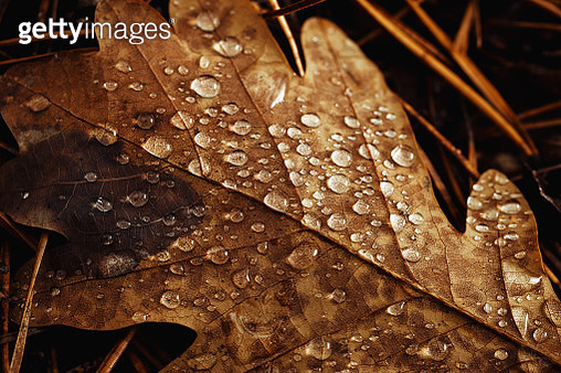 Close-up oak leaf with raindrops - gettyimageskorea