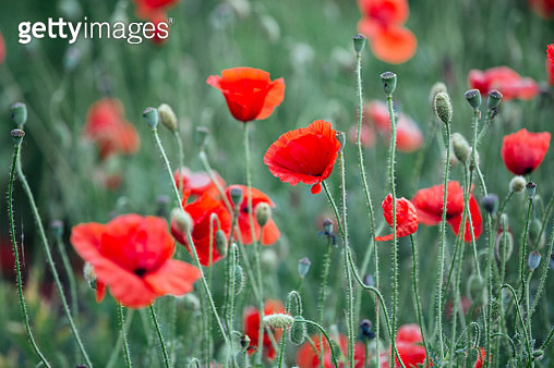 Close-up of red poppies in the field - gettyimageskorea