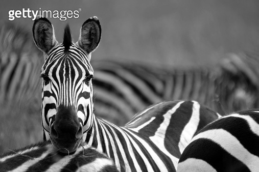 Zebra - gettyimageskorea