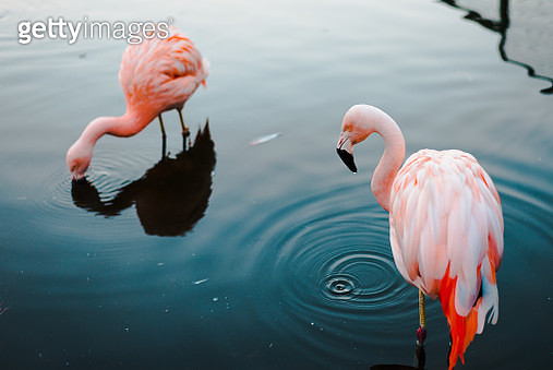 High angle view of flamingos in lake,Santiago,Chile - gettyimageskorea
