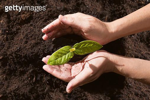 Cropped Image Of Hands Planting Seedling In Mud - gettyimageskorea