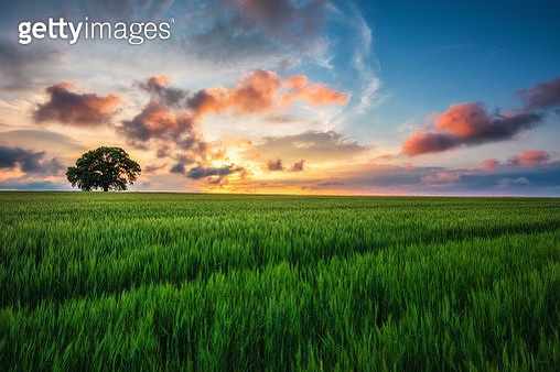 Tree in the field and sunset clouds in the sky - gettyimageskorea