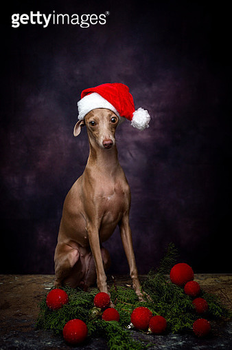 Italian Greyhound wearing Santa hat sitting against wall during Christmas - gettyimageskorea