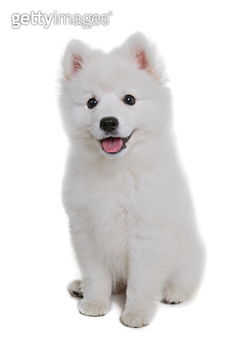 Japanese spitz puppy standing on a white backdrop - gettyimageskorea