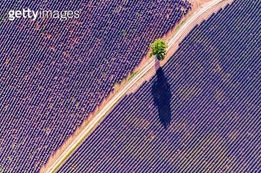 Aerial drone view of lavender field in summer, Provence, France - gettyimageskorea