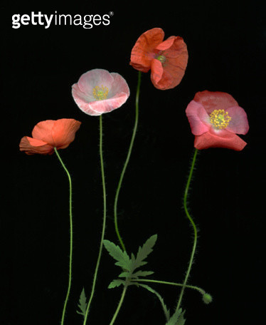 Poppies (Papaver) on Black - gettyimageskorea