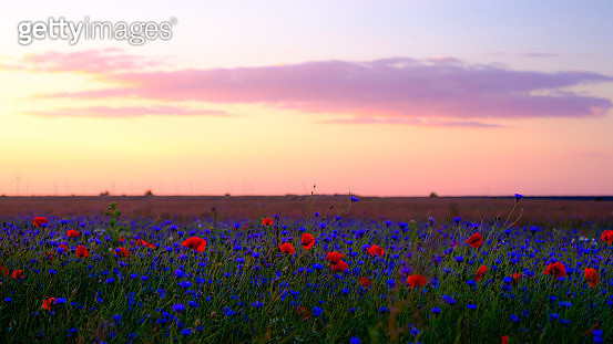 View Of Poppies Growing On Field Against Sky During Sunset - gettyimageskorea