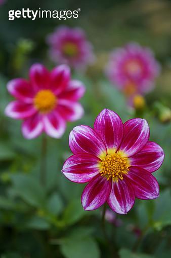 Bunch of Dahlia flowers - gettyimageskorea