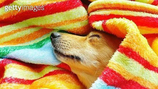 Close-Up Of Dog Sleeping Under Towel - gettyimageskorea