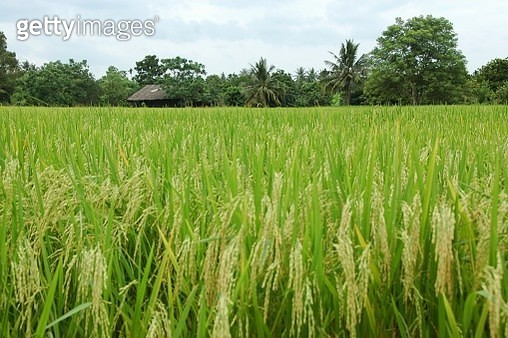 Scenic View Of Rice Field Against Sky - gettyimageskorea