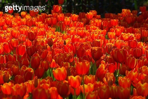 Orange Tulips Blooming Outdoors - gettyimageskorea
