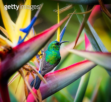 Colorful and fun image of a beautiful Double-Collared Sunbird perched in a Bird of Paradise plant at Kirstenbosch Gardens, Cape Town, South Africa. - gettyimageskorea