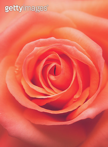Close up of coral rose - gettyimageskorea