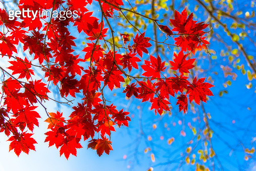 Close up of red maple leaves with blue sky in background. - gettyimageskorea