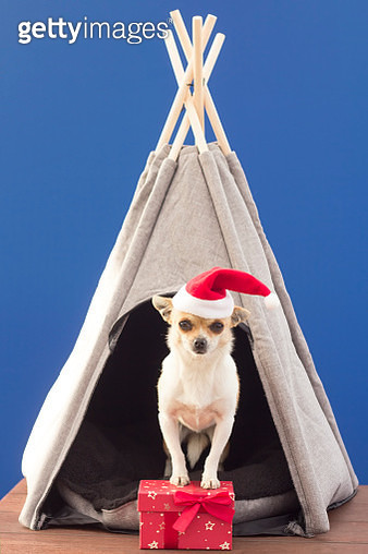 Dog with Santa hat and gifts on blue background - gettyimageskorea