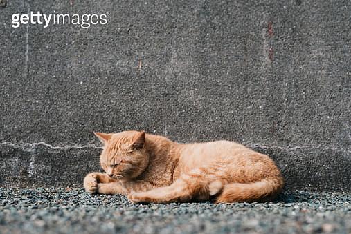 Cat island in japan, ainoshima - gettyimageskorea