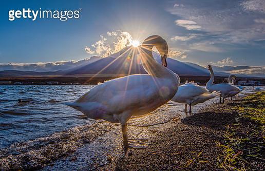Mount Fuji and Swans with Diamond Fuji Phenomenon at Yamanaka Lake, Japan - gettyimageskorea