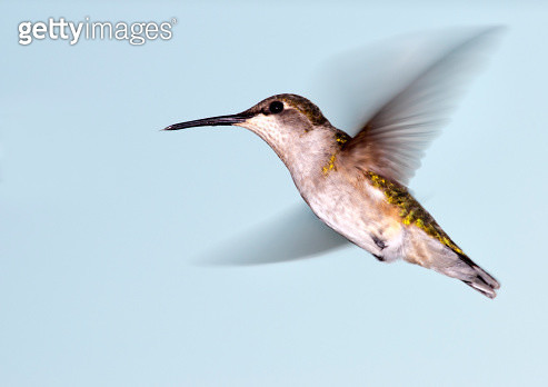 Hummingbird in flight - gettyimageskorea