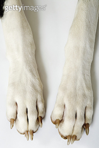 Harlequin Great Dane. Close up of front paws. Studio shot against white background. Owned by Liza Fenton. South Africa. - gettyimageskorea