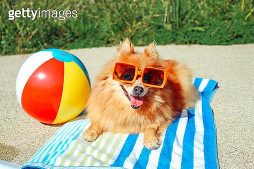 Dog Wearing Sunglasses, Pomeranian, Dog On Vacation, Happy Dog, Funny Dog, Dog Summer, Dog Days of Summer. - gettyimageskorea
