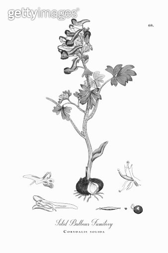 Solid Bulbous Fumitory, Corydalis solida, Victorian Botanical Illustration, 1863 - gettyimageskorea