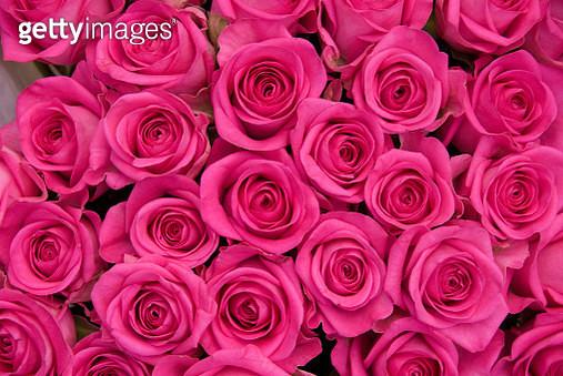 Full Frame Shot Of Pink Roses - gettyimageskorea