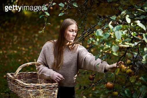 Young woman harvesting apples from treee in autumn - gettyimageskorea