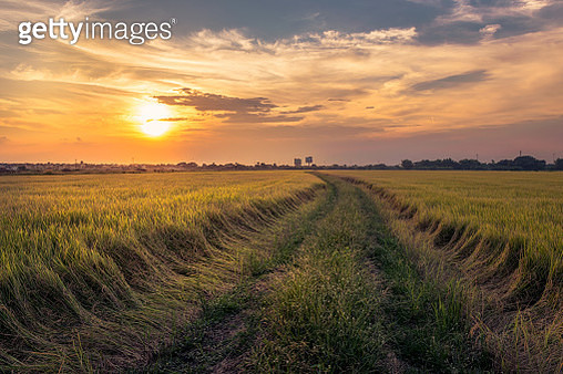 Scenic View of Agricultural Rice Fields Against Sky During Sunset, Pathum Trani Province, Thailand, Asia - gettyimageskorea