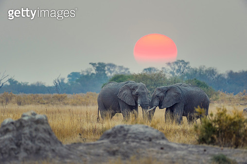 Two elephants with sunset behind. - gettyimageskorea