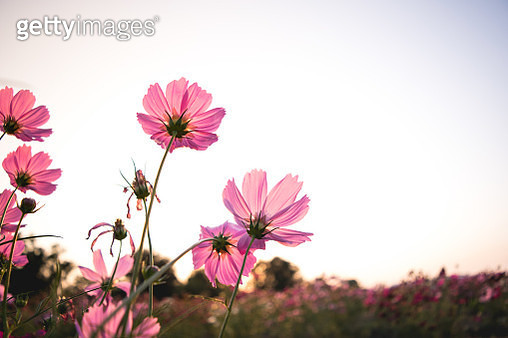 Close-Up Of Pink Cosmos Flower Against Sky - gettyimageskorea