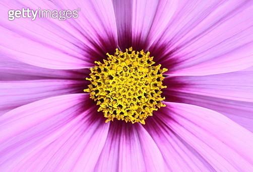 Pink Cosmos - gettyimageskorea