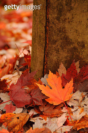 Fallen Maple  Leaf Van Dusen N5152 - gettyimageskorea