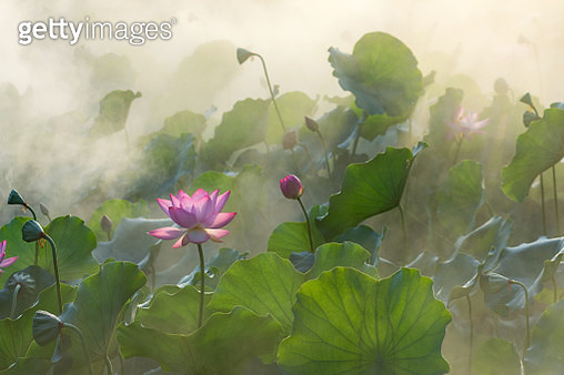 Foshan, China - June 19, 2019: A red lotus blossom in fog. - gettyimageskorea