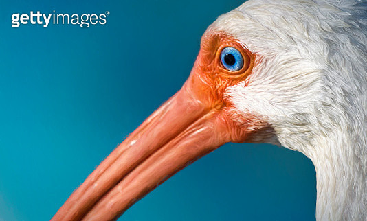 Close Up Cute Ibis Face with Blue Eyes at Fort Myers Beach, Florida - gettyimageskorea