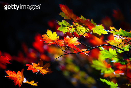 Close up of colorful maple leaves with dark background. - gettyimageskorea