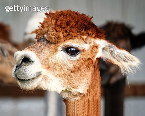 Close up portrait of an alpaca. - gettyimageskorea
